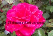 Tüplü Gül Fidanları  / Satışı sunululan gül fidanları (rose trees for sale ) http://www.e-fidancim.com/Tuplu-Gul-Fidanlari-,LA_168-2.html#labels=168-2