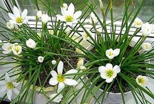 Зефирантес комнатный цветок