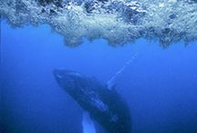Whales and dolphins / A small sample of images of whales and dolphins, use the keyword search to find more.