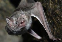 bat - Desmodus rotundus