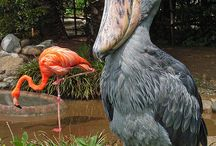 papucs csőrű madár