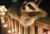 lovely racoon