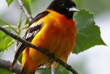 Baltimore Orioles / In their natural habitat / by Marian MacPherson