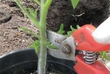 rajčata, pěstování