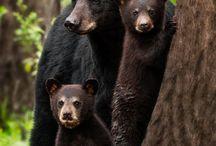 Bears - wildlife photography