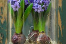 Bulbs in vase