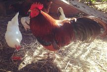 Rescued Chickens and Ducks / The abandoned, the unwanted, the dumped and the rescued chickens, ducks and other poultry.