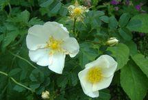 Rosiers pimprenelle (Rosa pimpinellifolia et Rosa spinosissima) / Rosier originaire d'Europe et d'Afrique du Nord.  Non remontant, ses tiges sont hérissées d'épines. Généralement de 20 à 140 cm de haut mais atteignant parfois 2 mètres. La rose pimprenelle est extrêmement vigoureuse et résistante au froid. Les petites fleurs de 4 à 5 cm s'épanouissent en mai et juin. Elles sont inodores.