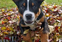 PUPPY / I love dogs!! We have a greater Swiss mountain dog named Earl and he's the sweetest little pup in the world!