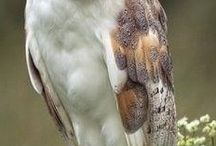 Birds - Owls / Owls are so beautiful and studious looking like a wise old schoolmaster !