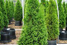 Barrbuskar/träd
