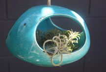 Tillandsia / Air Plants Baby!