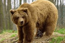 Brown Bear Pyrenees / NL: Bruine beren van de Pyreneeen. ES: Oso pardo de los Pirineos.  GB: Brown bear from the Pyrenees.