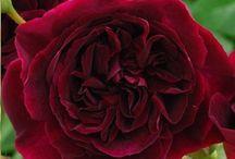 Roses. / No fragnance, no rose, no name no pin.