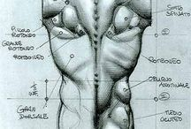 A Anatomical Drawing