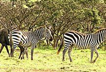 Africa - KENIA - Parque Masai Mara / Impressões Selvagens