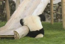 panda obsession . / by Emma Mock