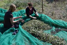 Olive Picking / Come and enjoy our favourite time of year and help us pick our olives!