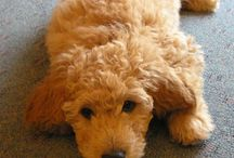 Miniature goldendoodle retrievers and Fox Terriers