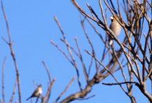 野鳥 / 小鳥が大好きなので、リュックにカメラを入れて、野鳥の写真を撮りに出かけています。 公共交通機関と歩きで、なんとかたどり着いています。