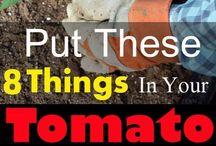 Tomato fertiliser &a hints