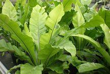 Things Aspleniaceae, the Spleenwort family