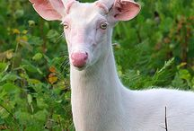 wild albino whitetail buck- crazy!
