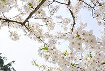 Sakura / Spring blooming Happy days