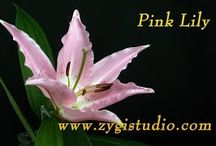 Lily Video Clips / Time-lapse video clips of growing, opening, rotating and dying lily flowers