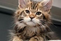 Maine Coon Cats / Photos of Maine Coon Kittens #mainecoon #cats #kittens