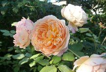 Roses 2 / Garden queens