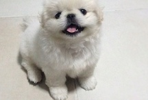 Pekingese / My favourite dog breed. Can't wait to have two of my very own! :)