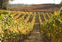 Our Vineyard / Our Fair Play Farms Vineyard in the Sierra Foothills at 2401' Altitude. El Dorado County, California.