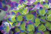 Hydrangeas - Mixed Colors