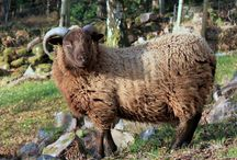 Shetland Sheep / by Hand Knitted Things