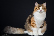 SIBERIAN / by Cat Fanciers Association