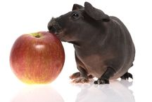 Guinea Pigs / by Time2be Healthy