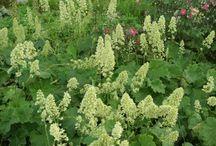 Skyggebeplantning / Planter som trives i skygge.