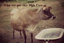 milk cow info
