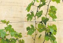 виноград ухол