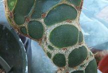 OPUNTIAS / Variedades distintas de este cactus