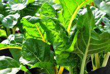 Nos légumes / Les légumes que nous cultivons avec amour à la Jardinerie du Canton de St-Jacques de Leeds