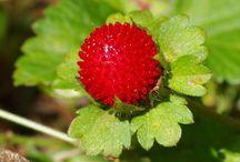 Hagymások és évelők / Hagymás és évelő növények