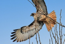 hawks / another beatiful bird i love seeing while  were fishing  / by Brenda Johnson