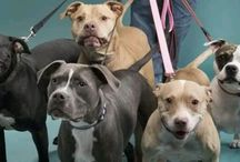P I T B U L L + L O V E / This board is strictly for the pitbulls! For all the uneducated people who judge my breed. Proud mommy of an American pitbull terrier! Pitbull is not a breed it is a description! / by Emily Fried