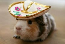 Mexican guinea pigs / by Helen Baron