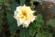 when the flower is shinning / I love my Rose Plant and Jasmine.