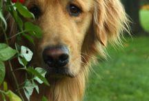 Golden Retrievers! My new favourite dog breed!!!
