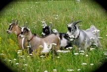Gullringstorp Goats & other Beautiful Goats / Gullringstorp Goats and other Beautiful Goats / by Gullringstorpgoatgal Sweden