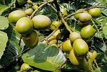 discover, what happens, plant, tree, tropical tree, Matoa, Pinnata, Pometia Pinnata